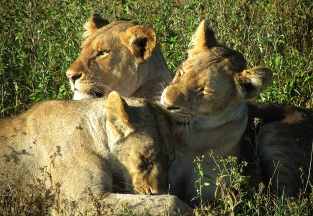Lioness at Ndutu, Tanzania