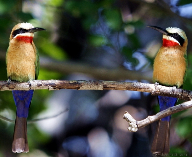 Bee-eater birds captured in Botswana