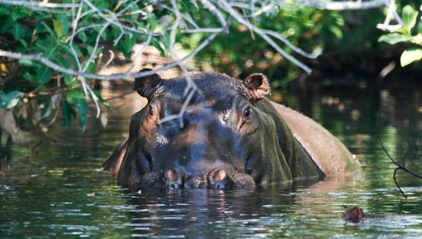 Up close with a hippo in Botswana