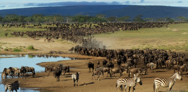 Wildebeest migration at Serengeti, Tanzania